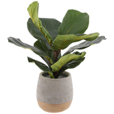 Ficus Lyrata In Gold Base Pot