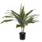 Potted Cordyline