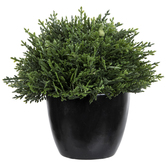 Green Cedar In Pot