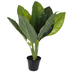 Potted Spathiphyllum