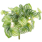 Watermelon Peperomia Bush