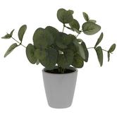 Eucalyptus In White Pot