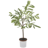 Potted Olive Tree - Small