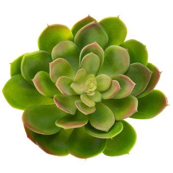 Agave Succulent Bush