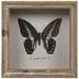 Butterfly Specimen Framed Wall Decor