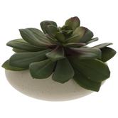 Aeonium Arboreunm Succulent In White Pot