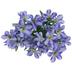 Purple Crocus Bush
