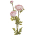 Blush Ranunculus Stem