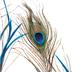 Peacock Feather Spray