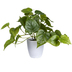 Green Philodendron In Pot