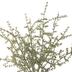 Wild Asparagus Bush - 12