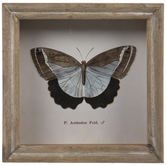 Butterfly Specimen Framed Wall Decor