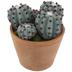 Ridged Cacti In Pot