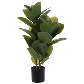 Rubber Plant In Black Pot
