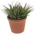 Aloiampelos Struatula Succulent In Pot