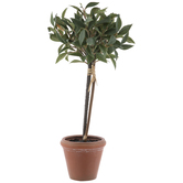 Bay Leaf Topiary In Pot