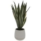 Sisal Hemp Plant In White Pot