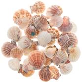 Pecten Vexillum Seashells