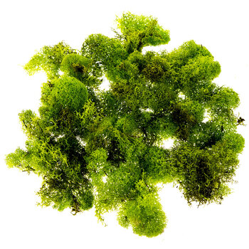 Chartreuse Soft Reindeer Moss