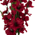 Red Gladiolus Bush