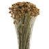 Dried Yellow Ammobium Flower Bundle