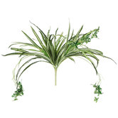 Green & Cream Spider Plant Bush