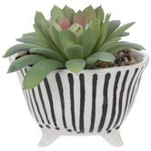 Succulents In Striped Pot