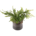 Fern In Glass Pot