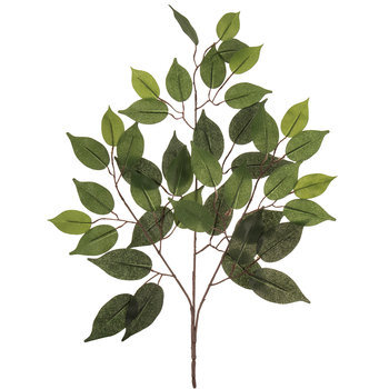 Fat Ficus Branch