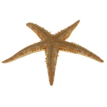 Flat Starfish