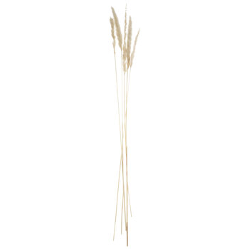 Bleached Dried Foxtail Stems