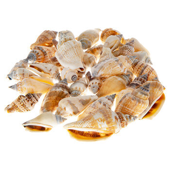 Brown Chula Shells