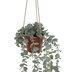 Eucalyptus In Hanging Pot