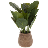 Calathea Orbifolia Plant In Tan Pot