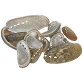 Mule Ear Abalone Shells