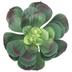 Green Aeonium Pick