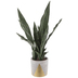 Sansevieria In Gold Triangles Pot