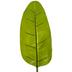 Banana Leaf Stem