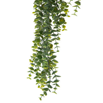 Hanging Eucalyptus Bush