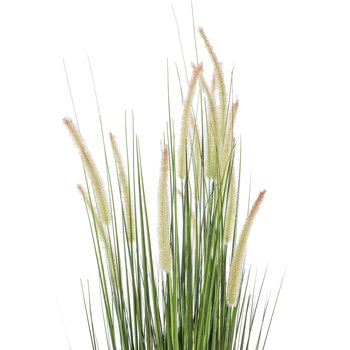 Dogtail Onion Grass Potted Plant