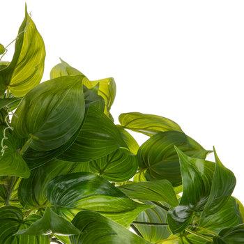 Clamatis Leaf Bush