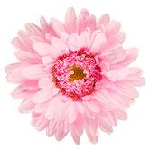Light Pink Giant Gerbera Daisy Stem