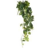 Variegated Pothos Bush With Dew