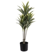 Dracaena Plant In Black Pot