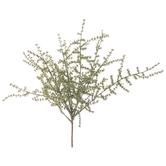 "Wild Asparagus Bush - 12"""