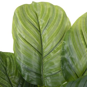 Potted Calathea Orbifolia