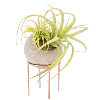Air Plant in Round Gray Cement Pot