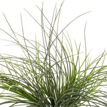 Monkey Grass Bush