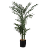 Phoenix Palm Tree In Black Pot