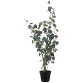 Eucalyptus Tree In Black Pot